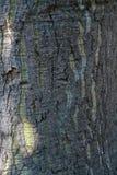 Schroffe Baumrinde mit grünen Dehnungsstreifen lizenzfreie stockbilder
