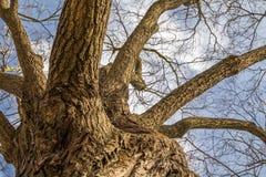 Schroffer Baumstamm gesehen von der Unterseite Stockfotografie