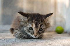 Schroffes Kätzchen Stockfotografie