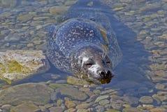 schronienia foki płytkie wody zdjęcia stock
