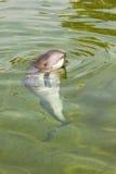 schronienia phocoena morświn Zdjęcie Royalty Free