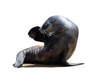 Schronienie foka obraz royalty free