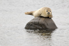 Schronienie foka Zdjęcia Royalty Free