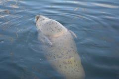 Schronienie foka Zdjęcie Stock