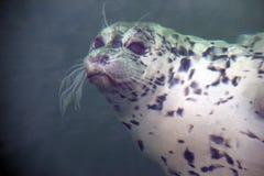 Schronienie foka gapi się up przez wody obrazy stock