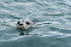 Schronienie foka - Juneau, Alaska Fotografia Royalty Free