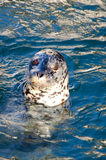 Schronienie foka lub pospolita foka (Phoca Vitulina) Zdjęcia Stock