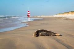 Schronienie foka odpoczywa na plaży, z ludźmi chodzi w tle zdjęcia stock