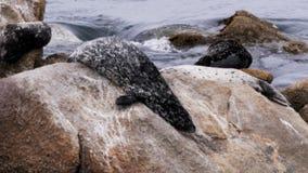 schronienie foka ono ślizga się w wodę zbiory wideo