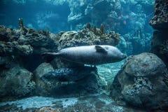 Schronienie foka, Phoca vitulina Obraz Royalty Free