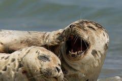 Schronienie foka, Phoca vitulina Zdjęcie Stock