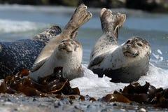 Schronienie foka, Phoca vitulina Obrazy Stock