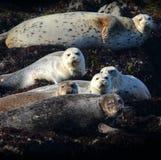 Schronienie foki na Kalifornia wybrzeżu Obraz Stock