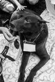 Schroniskowy psi portret Fotografia Royalty Free