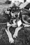Schroniskowy psi portret Zdjęcia Royalty Free