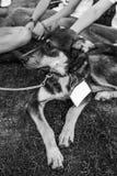 Schroniskowy psi portret Obrazy Stock