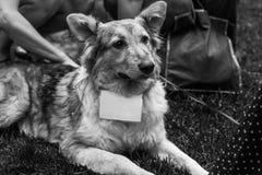 Schroniskowy psi portret Obraz Stock