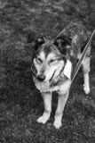 Schroniskowy psi portret Obrazy Royalty Free