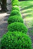 schrubs японца boxwood стоковое изображение