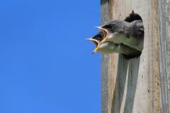Schätzchen-Baum-Schwalbe, die um Nahrung bittet Lizenzfreie Stockbilder