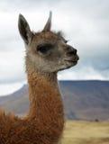 Schätzchen Lama Stockfotografie
