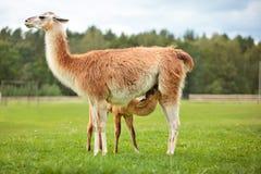 Schätzchen Lama, der Milch saugt Stockfoto