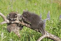 Schätzchen-Waschbär und -stachelschwein Stockfoto