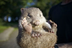 Schätzchen wombat Australien Lizenzfreie Stockfotos