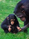 Schätzchenschimpanse mit Mutter Lizenzfreie Stockfotografie