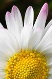 Schuß der weißen Blume Makro Stockbild