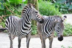 Schubsender Begleiter des jungen erwachsenen Zebra Stockfotografie