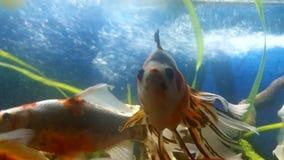 Schubukin goldfisch和schubukin面纱尾巴金鱼 库存照片