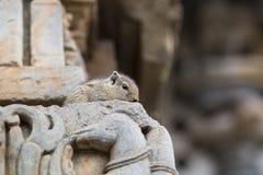 Schuchtere Bruine Indische Eekhoorn Stock Fotografie