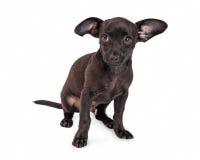Schuchtere Kleine Zwarte Chihuahua-Kruisingshond royalty-vrije stock foto's