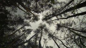 Schuddende pijnbomen stock videobeelden