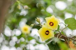 Schuh-Blume oder Hibiscus Stockfoto