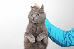 Schuld grijze die kat door scruff wordt gehouden stock foto's