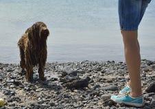 Schuldige natte Spaanse van waterhond en vrouwen benen Royalty-vrije Stock Afbeeldingen