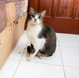 Schuldige Schwarzweiss--Cat Starring Stockbilder