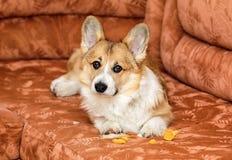 schuldiger roter Hundewelpe Corgi liegt auf der Couch und zerriss und nahm das Schaumgummi von den Möbeln heraus lizenzfreies stockbild