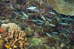 Schule der blauen Fische und der Koralle Stockfoto