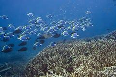 Schule der blauen Surgeonfishes Stockfoto