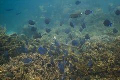 Schule der blauen Zapfenfische Lizenzfreie Stockfotos