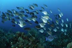 Schule der blauen Zapfenfische Lizenzfreie Stockfotografie
