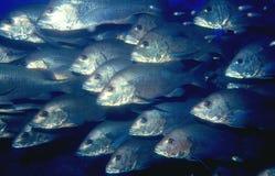 Schule der Fische stockbilder