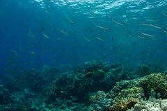Schule der Flussbarschbarracudas im Korallenriff Stockfoto