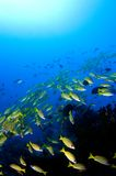 Schule der gelben Rotbarsche über Riff. lizenzfreies stockbild