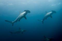 Schule der Hammerhaihaifische lizenzfreies stockbild