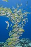 Schule der hellen gelben Fische im Blau Lizenzfreie Stockfotografie