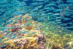 Schule der Sardelle in einem blauen Meer mit Korallenriff Lizenzfreies Stockfoto